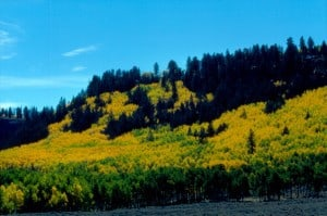 Golden Aspen in central Colorado