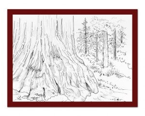 4. Sketch redwood patriarch. red frame. 2000 yrs old